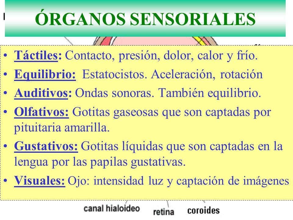 O. Auditivos y olfativos en las antenas y gustativos en patas ÓRGANOS SENSORIALES Táctiles: Contacto, presión, dolor, calor y frío. Equilibrio: Estato