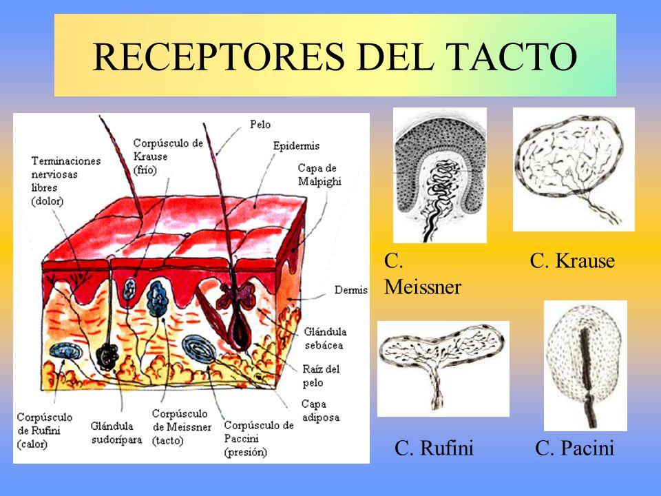 RECEPTORES DEL TACTO C. Meissner C. Rufini C. Krause C. Pacini