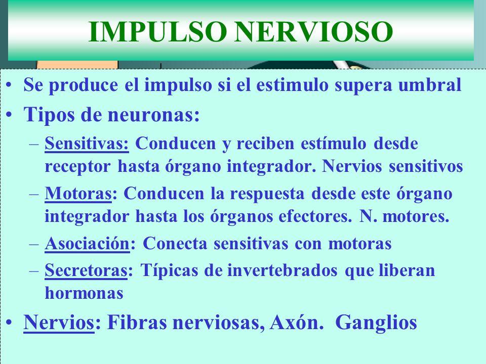 IMPULSO NERVIOSO Se produce el impulso si el estimulo supera umbral Tipos de neuronas: –Sensitivas: Conducen y reciben estímulo desde receptor hasta ó
