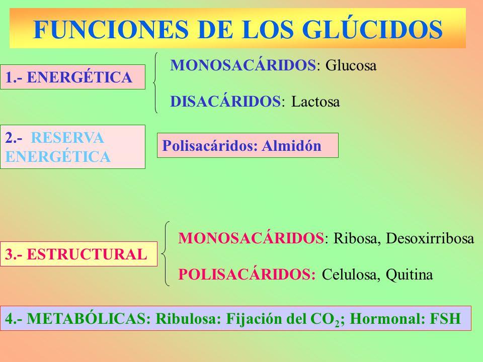 FUNCIONES DE LOS GLÚCIDOS 1.- ENERGÉTICA DISACÁRIDOS: Lactosa MONOSACÁRIDOS: Glucosa POLISACÁRIDOS: Celulosa, Quitina 3.- ESTRUCTURAL MONOSACÁRIDOS: R