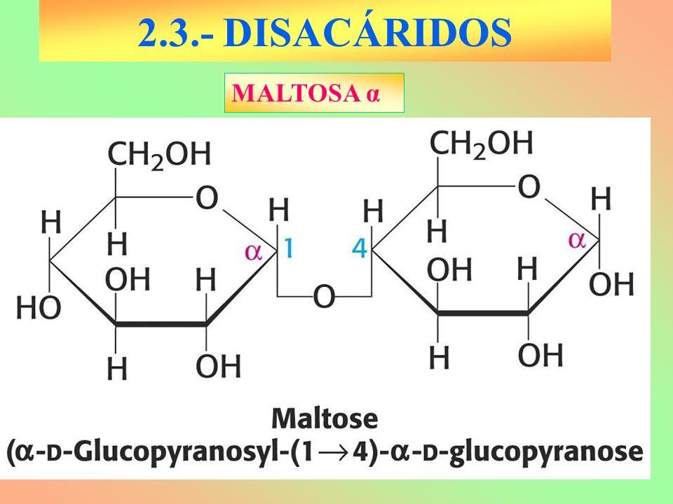 2.3.- DISACÁRIDOS MALTOSA α