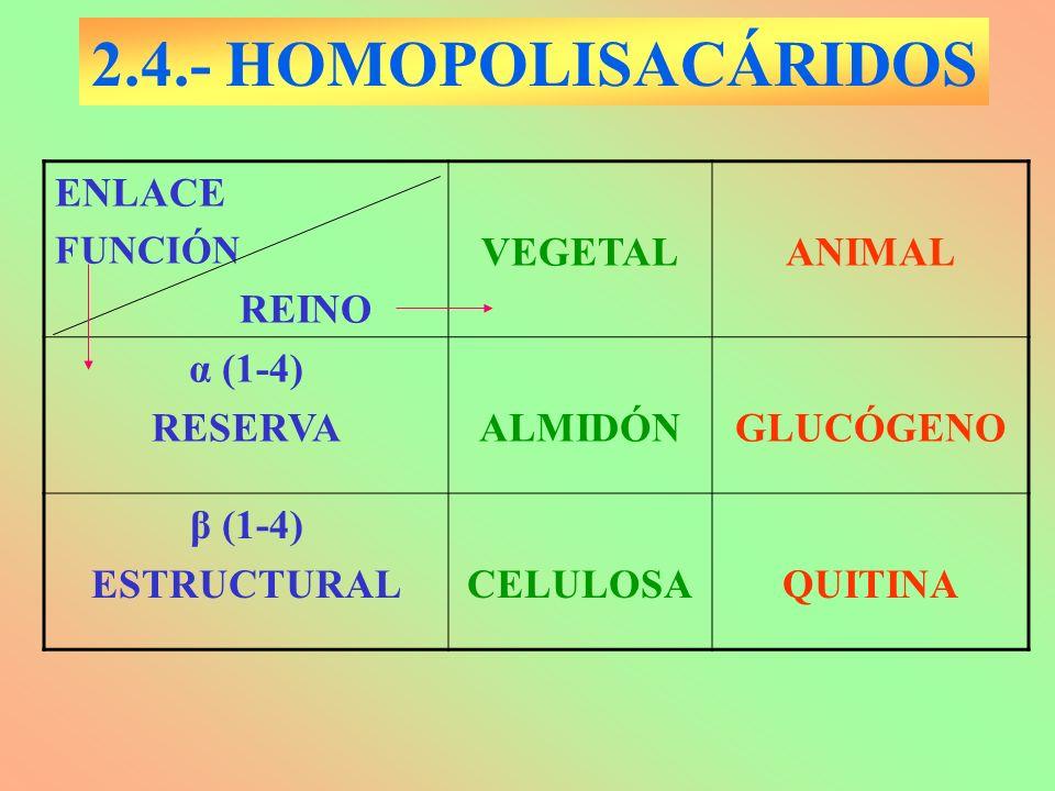 2.4.- HOMOPOLISACÁRIDOS ENLACE FUNCIÓN REINO VEGETALANIMAL α (1-4) RESERVAALMIDÓNGLUCÓGENO β (1-4) ESTRUCTURALCELULOSAQUITINA