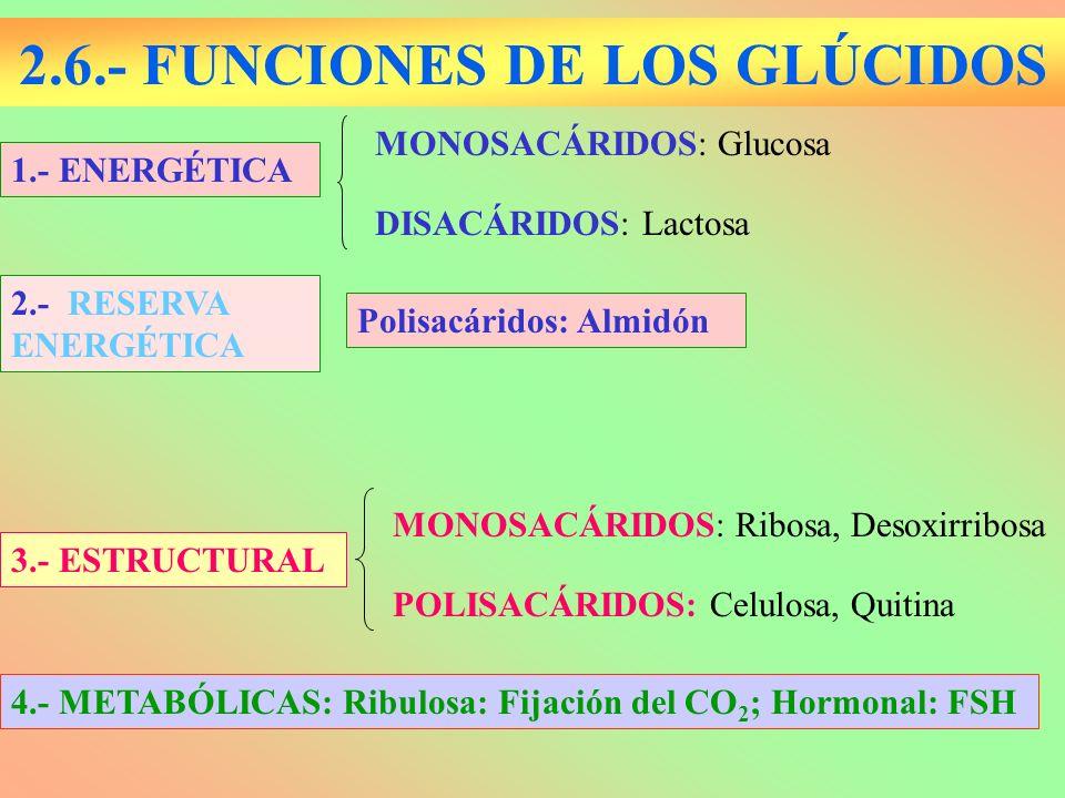 2.6.- FUNCIONES DE LOS GLÚCIDOS 1.- ENERGÉTICA DISACÁRIDOS: Lactosa MONOSACÁRIDOS: Glucosa POLISACÁRIDOS: Celulosa, Quitina 3.- ESTRUCTURAL MONOSACÁRI