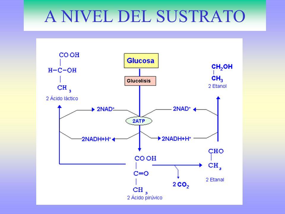 BALANCE DEL CICLO DE KREBS Rendimiento del Ciclo de Krebs 1 CH 3 CO-S-CoA 1 Acetil Coenzima A 2 CO 2.