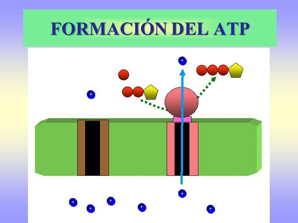 BALANCE RESPIRACIÓN SUSTRATO INICIAL PRODUCTO FINAL PROCESO PODER REDUCTOR ATP GLUCOSA2 PIRUVICOSGLUCOLISIS2 NADH + H + 2 2 PIRÚVICOS 2 ACETIL CoA 2 CO 2 DESCARBOXILA OXIDATIVA2 NADH + H + ---- 2 ACETIL CoA4 CO 2 CICLO DE KREBS 6 NADH + H + 2FADH 2 2 TOTAL 1 GLUCOSA6 CO 2 RESPIRACIÓN CELULAR 10 NADH + H + 2 FADH 2 4 10 NADH + H + 2 FADH 2 10 NAD + H 2 O 2 FAD FOSFORILACIÓN OXIDATIVA OXIDADO 3 x 10 2 x 2