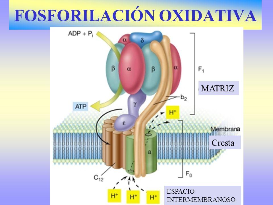 FOSFORILACIÓN OXIDATIVA Consiste en un transporte de electrones y protones desde las coenzimas reducidas (¿?) hasta el oxígeno.