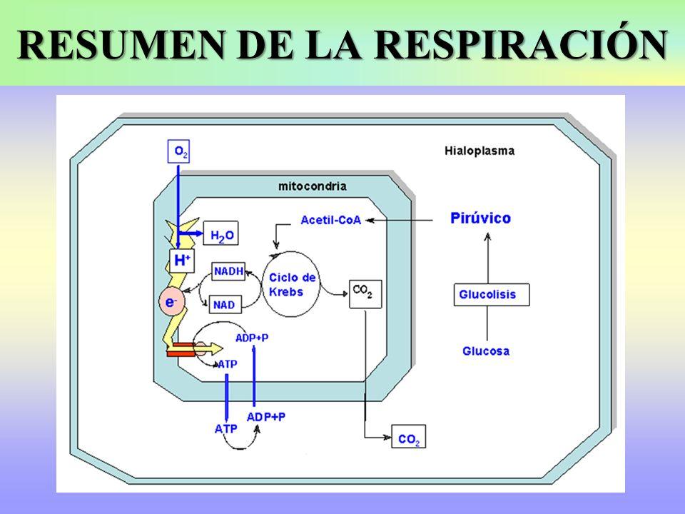 El ácido pirúvico obtenido en la glucolisis penetra en la mitocondria y seguirá una ruta aerobia.