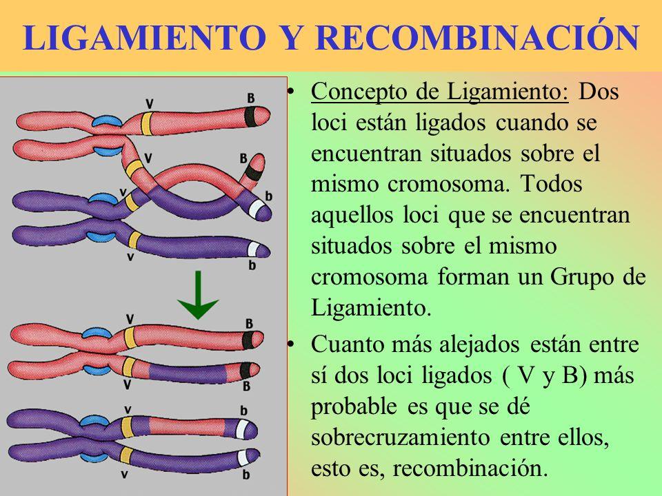 LIGAMIENTO Y RECOMBINACIÓN Concepto de Ligamiento: Dos loci están ligados cuando se encuentran situados sobre el mismo cromosoma. Todos aquellos loci