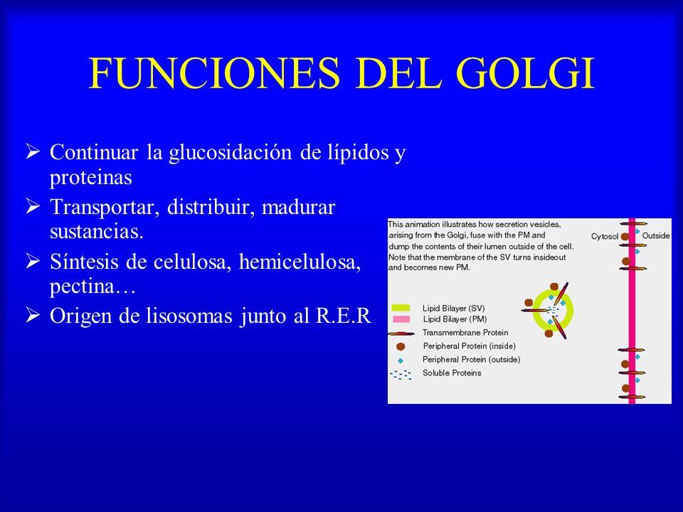 FUNCIONES DEL GOLGI Continuar la glucosidación de lípidos y proteinas Transportar, distribuir, madurar sustancias. Síntesis de celulosa, hemicelulosa,