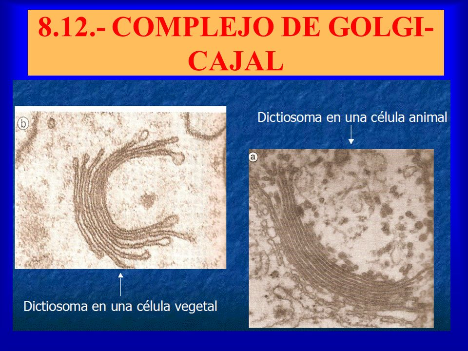 8.12.- COMPLEJO DE GOLGI- CAJAL
