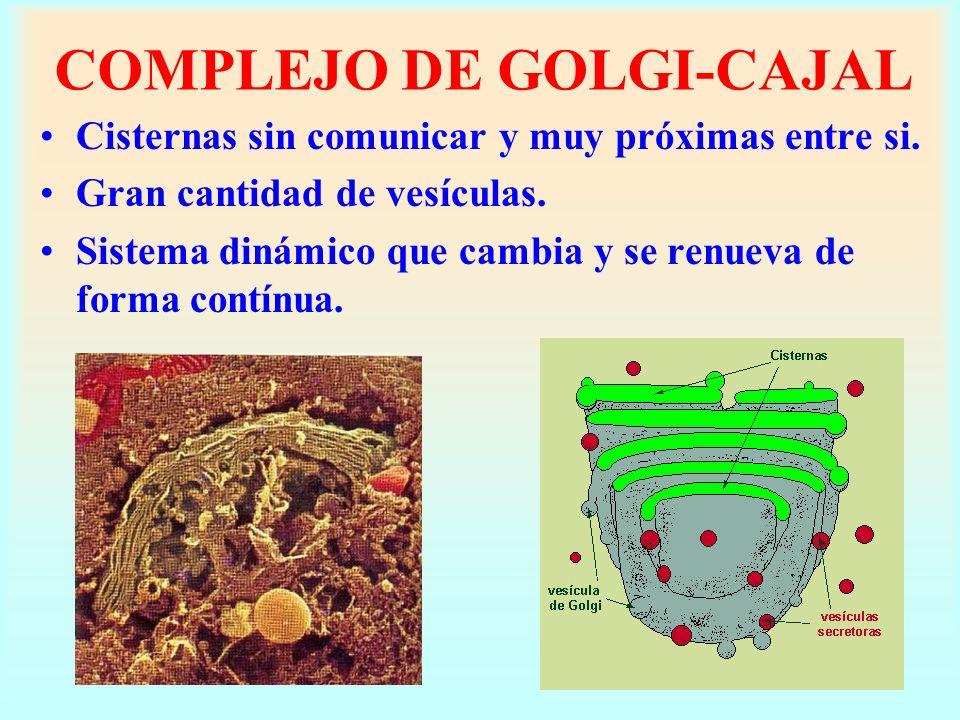 COMPLEJO DE GOLGI-CAJAL Cisternas sin comunicar y muy próximas entre si. Gran cantidad de vesículas. Sistema dinámico que cambia y se renueva de forma