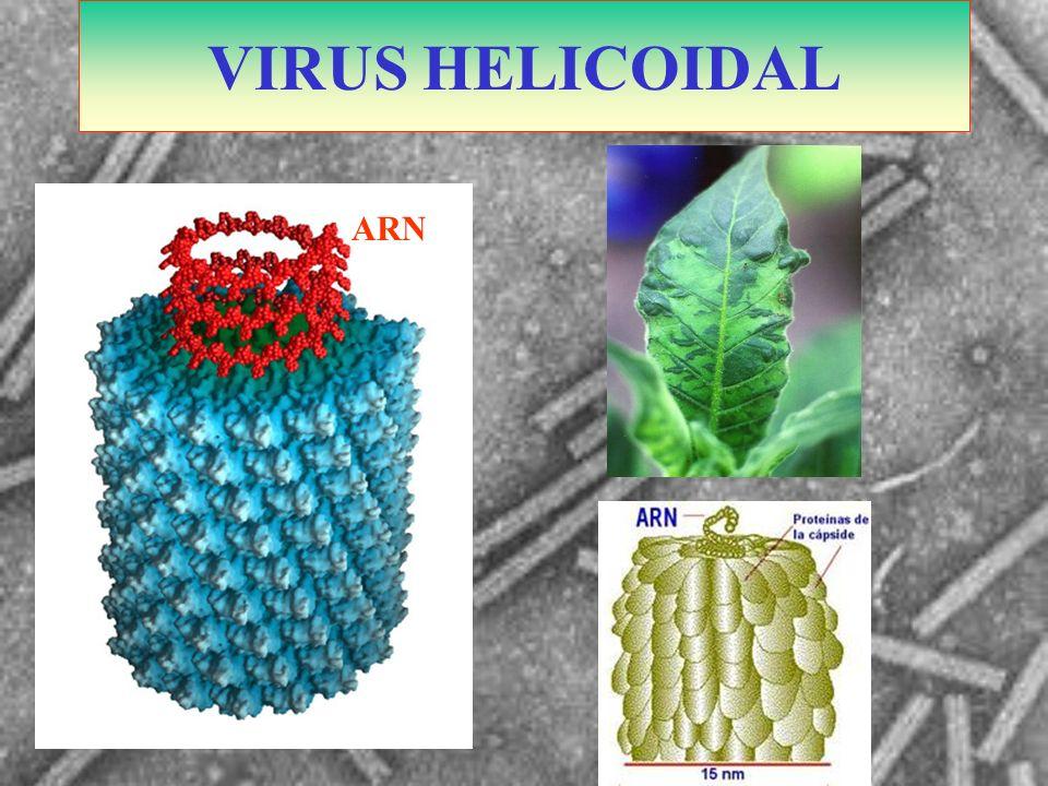 VIRUS HELICOIDAL ARN