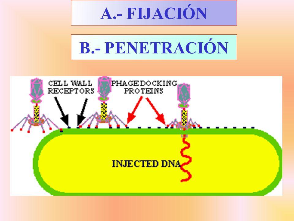 B.- PENETRACIÓN