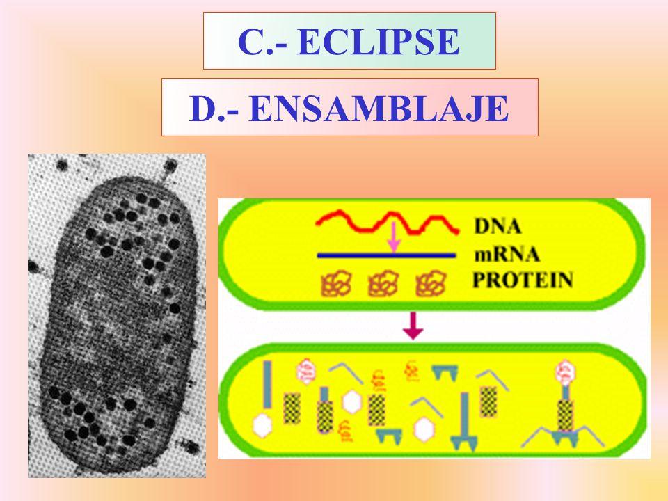 C.- ECLIPSE D.- ENSAMBLAJE