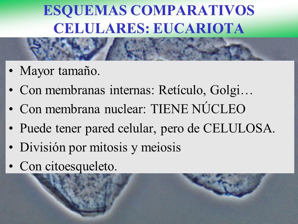 ESQUEMAS COMPARATIVOS CELULARES: EUCARIOTA Mayor tamaño. Con membranas internas: Retículo, Golgi… Con membrana nuclear: TIENE NÚCLEO Puede tener pared