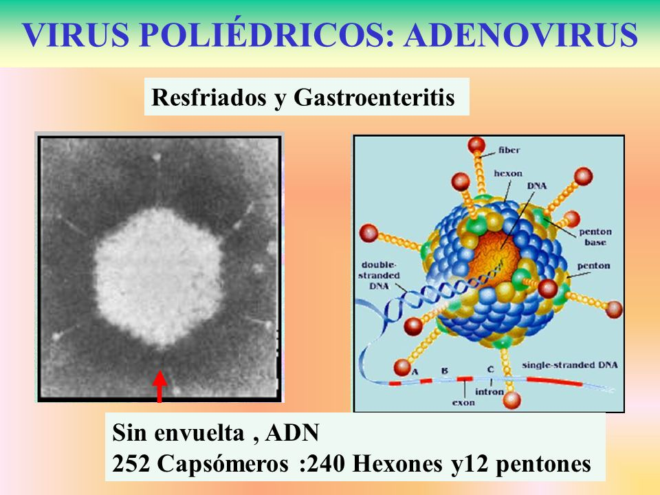 VIRUS POLIÉDRICOS: ADENOVIRUS Resfriados y Gastroenteritis Sin envuelta, ADN 252 Capsómeros :240 Hexones y12 pentones