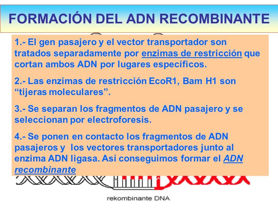FORMACIÓN DEL ADN RECOMBINANTE 1.- El gen pasajero y el vector transportador son tratados separadamente por enzimas de restricción que cortan ambos AD