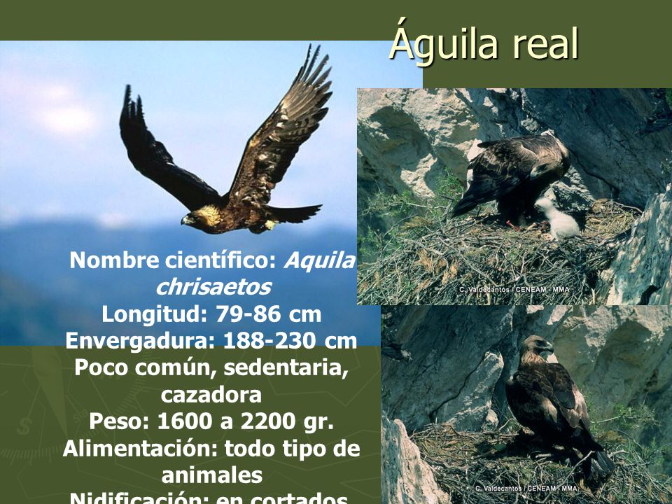 Nombre científico: Aquila chrisaetos Longitud: 79-86 cm Envergadura: 188-230 cm Poco común, sedentaria, cazadora Peso: 1600 a 2200 gr. Alimentación: t