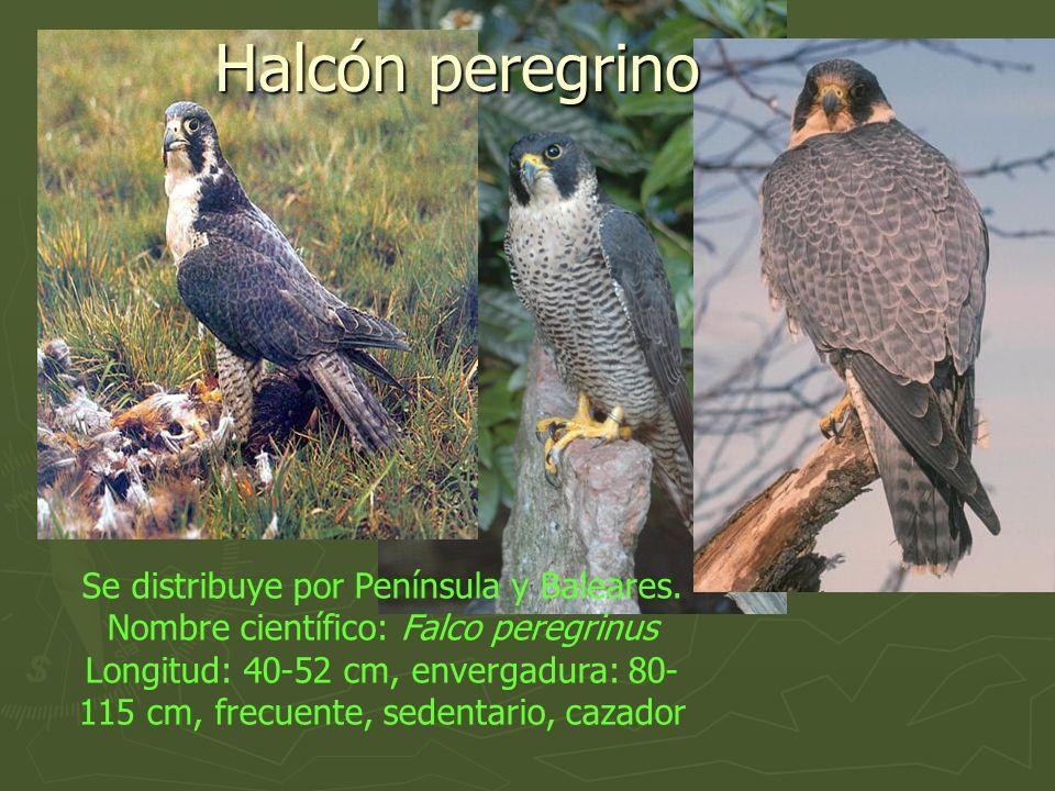 Se distribuye por Península y Baleares. Nombre científico: Falco peregrinus Longitud: 40-52 cm, envergadura: 80- 115 cm, frecuente, sedentario, cazado