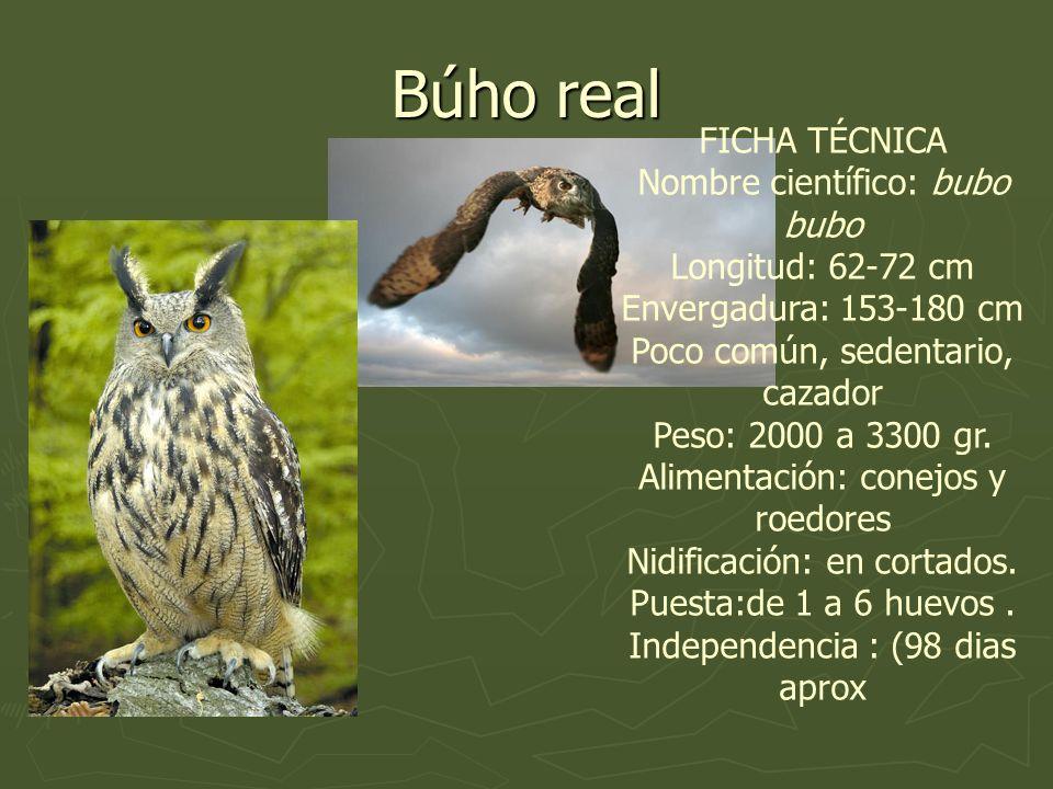FICHA TÉCNICA Nombre científico: bubo bubo Longitud: 62-72 cm Envergadura: 153-180 cm Poco común, sedentario, cazador Peso: 2000 a 3300 gr. Alimentaci
