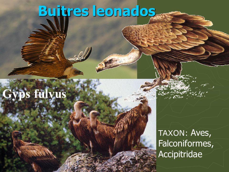 TAXON: Aves, Falconiformes, Accipitridae Gyps fulvus Buitres leonados