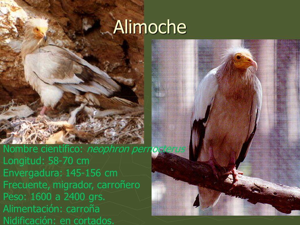 Nombre científico: neophron pernocterus Longitud: 58-70 cm Envergadura: 145-156 cm Frecuente, migrador, carroñero Peso: 1600 a 2400 grs. Alimentación: