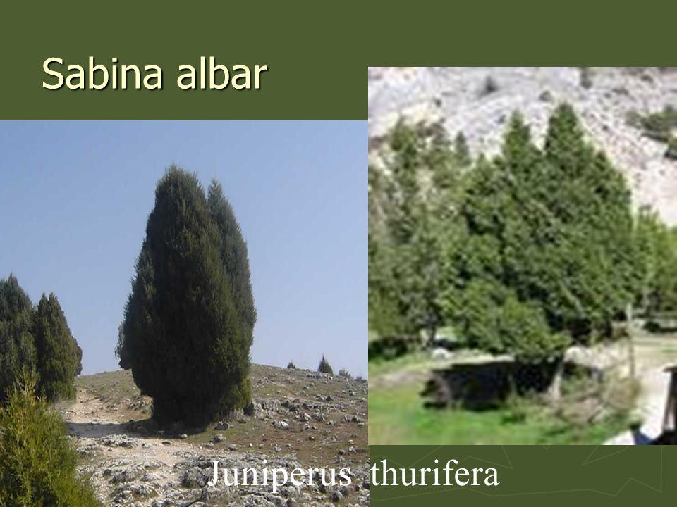 Sabina albar Juniperus thurifera