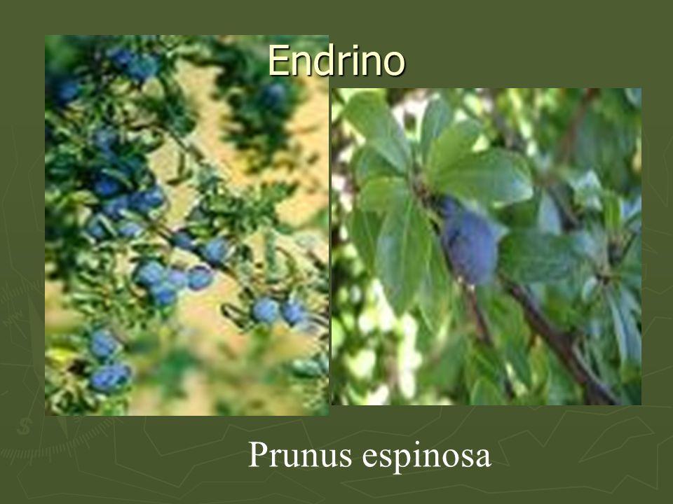 Endrino Prunus espinosa