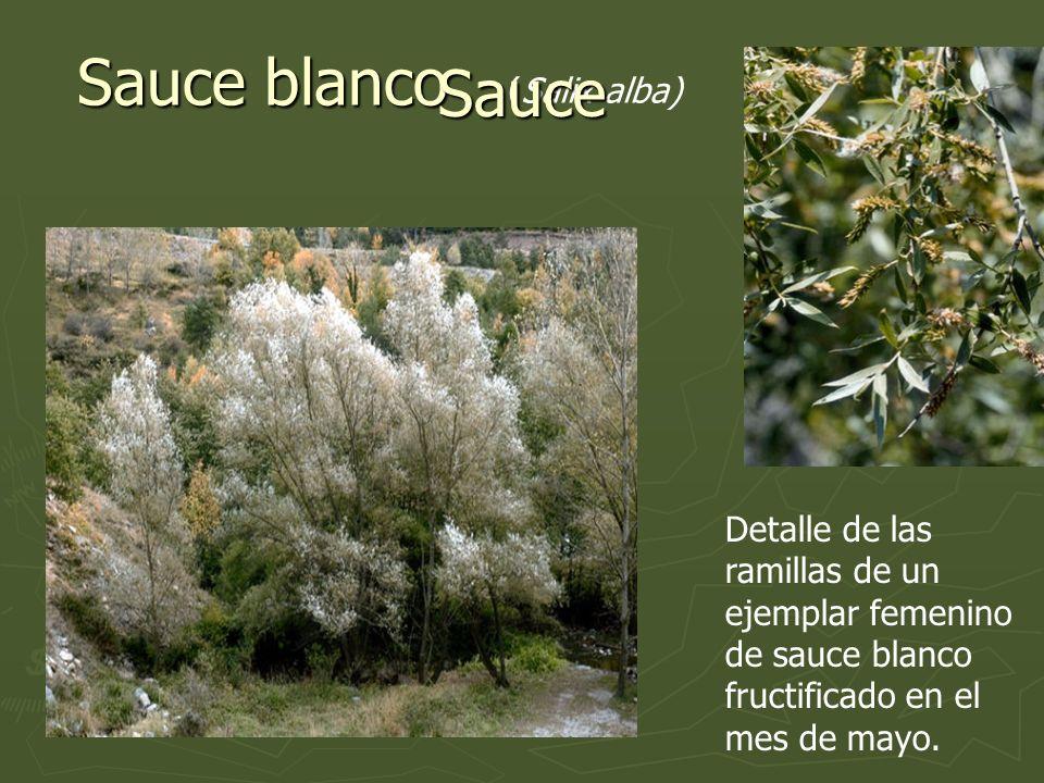 Sauce blanco (Salix alba) Detalle de las ramillas de un ejemplar femenino de sauce blanco fructificado en el mes de mayo. Sauce
