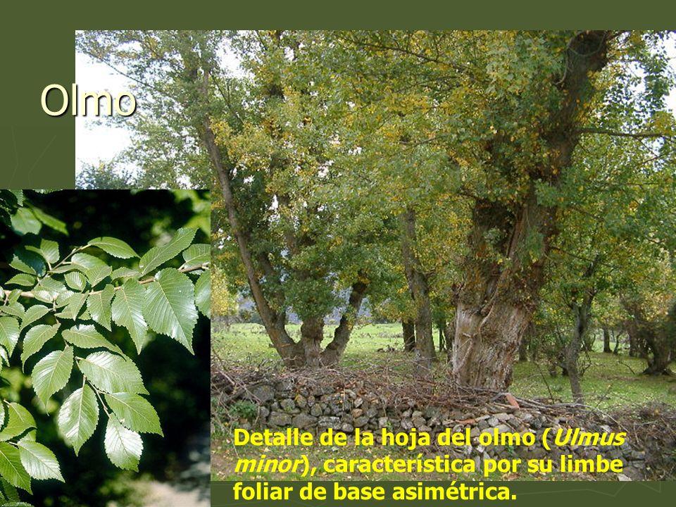 Detalle de la hoja del olmo (Ulmus minor), característica por su limbe foliar de base asimétrica. Olmo