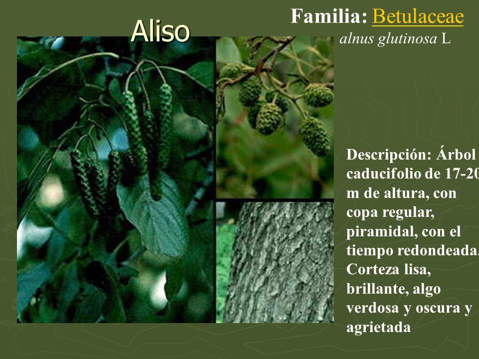 Aliso Descripción: Árbol caducifolio de 17-20 m de altura, con copa regular, piramidal, con el tiempo redondeada. Corteza lisa, brillante, algo verdos