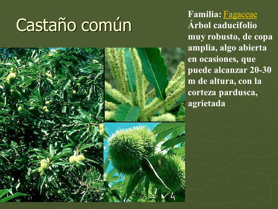 Castaño común Familia: FagaceaeFagaceae Árbol caducifolio muy robusto, de copa amplia, algo abierta en ocasiones, que puede alcanzar 20-30 m de altura