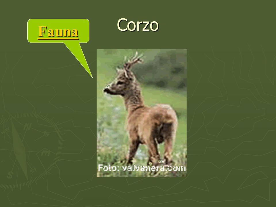 Fauna Corzo