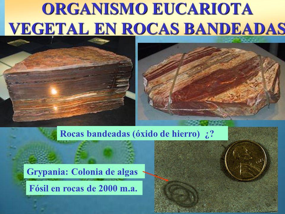 Fósil en rocas de 2000 m.a. Grypania: Colonia de algas Rocas bandeadas (óxido de hierro) ¿? ORGANISMO EUCARIOTA VEGETAL EN ROCAS BANDEADAS