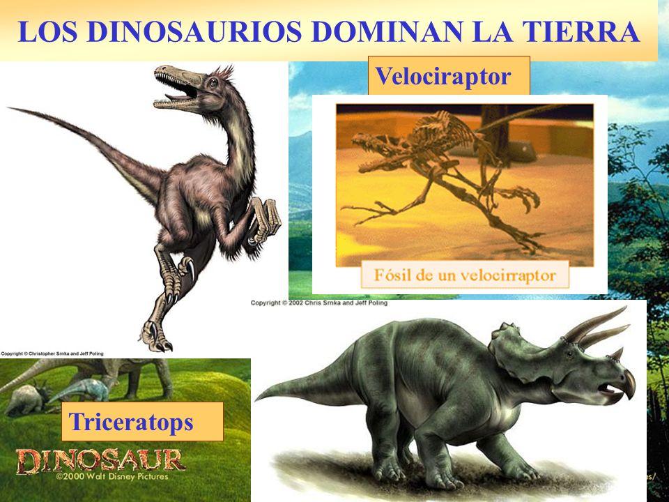 LOS DINOSAURIOS DOMINAN LA TIERRA Velociraptor Triceratops