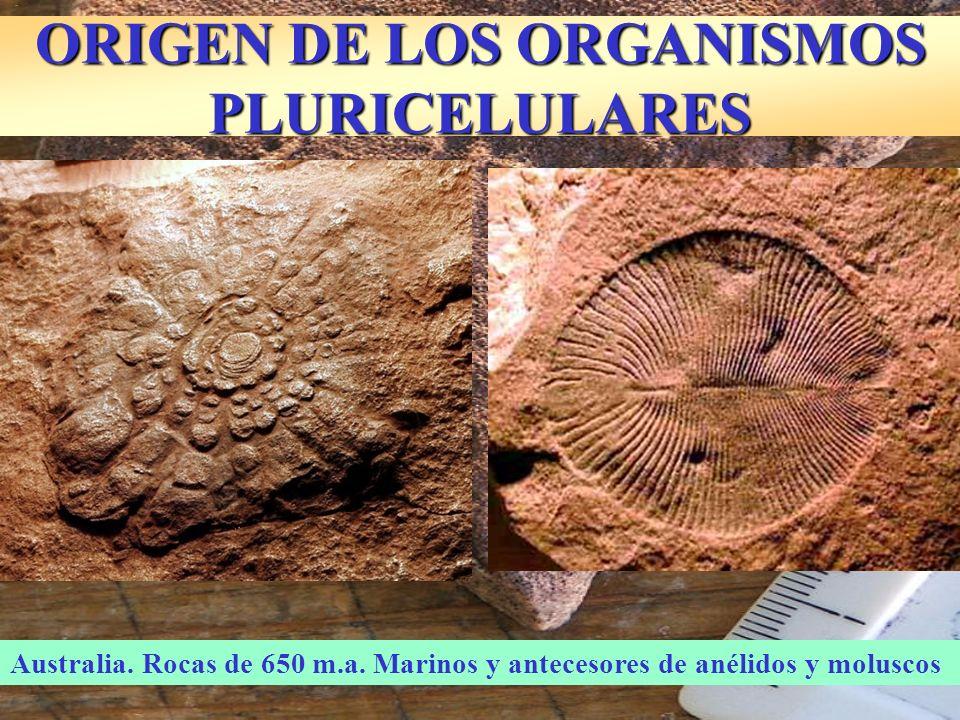 ORIGEN DE LOS ORGANISMOS PLURICELULARES Reconstrucción de los fósiles de Ediacara (Australia)