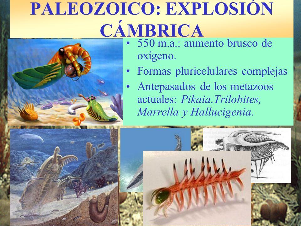 550 m.a.: aumento brusco de oxígeno. Formas pluricelulares complejas Antepasados de los metazoos actuales: Pikaia.Trilobites, Marrella y Hallucigenia.