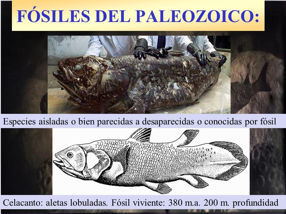 Celacanto: aletas lobuladas. Fósil viviente: 380 m.a. 200 m. profundidad Especies aisladas o bien parecidas a desaparecidas o conocidas por fósil