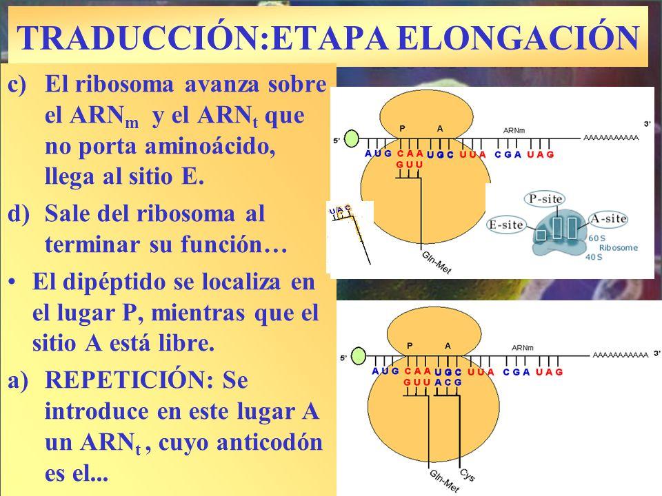 TRADUCCIÓN:ETAPA ELONGACIÓN c)El ribosoma avanza sobre el ARN m y el ARN t que no porta aminoácido, llega al sitio E. d)Sale del ribosoma al terminar