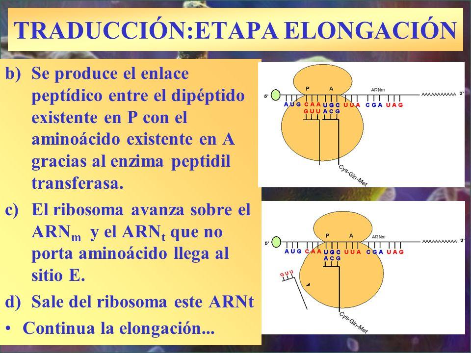 TRADUCCIÓN:ETAPA ELONGACIÓN b)Se produce el enlace peptídico entre el dipéptido existente en P con el aminoácido existente en A gracias al enzima pept