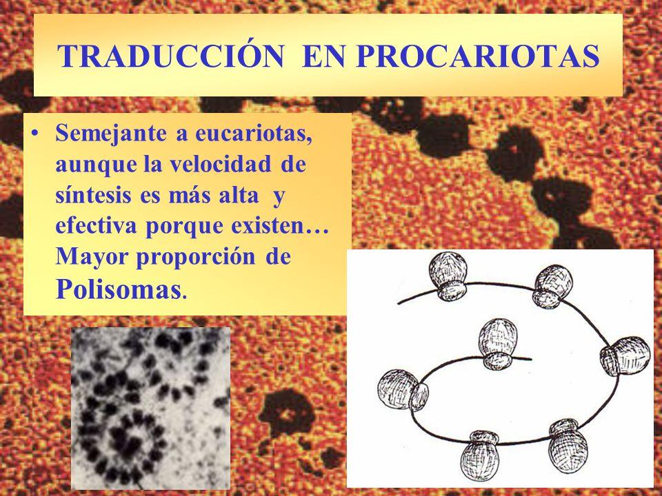 TRADUCCIÓN EN PROCARIOTAS Semejante a eucariotas, aunque la velocidad de síntesis es más alta y efectiva porque existen… Mayor proporción de Polisomas