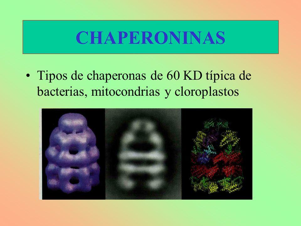 Tipos de chaperonas de 60 KD típica de bacterias, mitocondrias y cloroplastos CHAPERONINAS