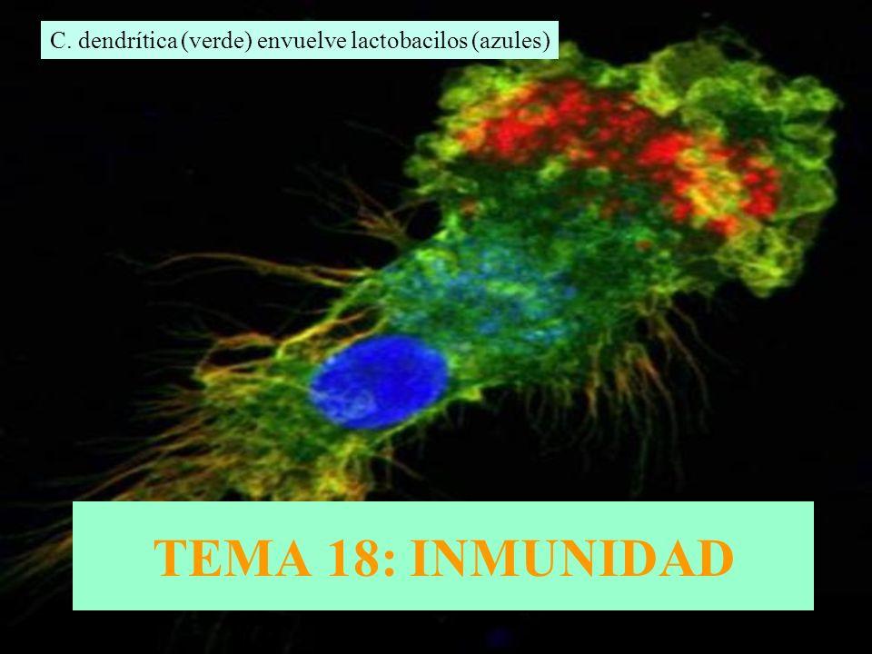 TEMA 18: INMUNIDAD C. dendrítica (verde) envuelve lactobacilos (azules)