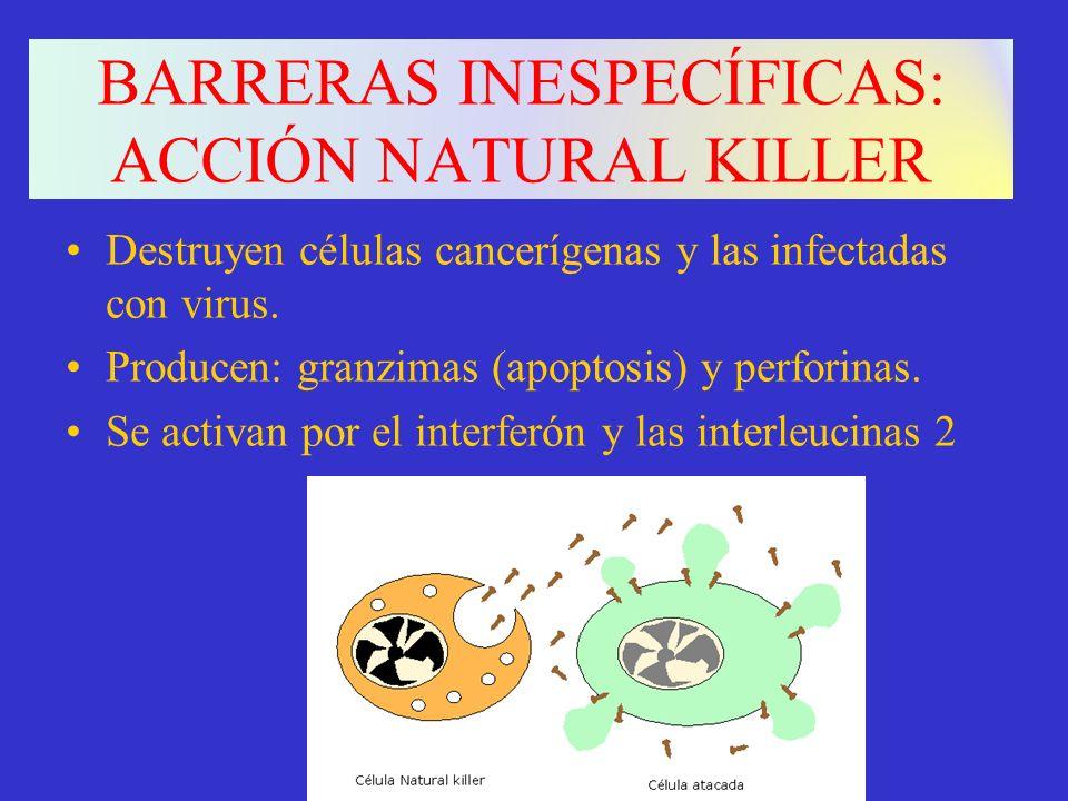 BARRERAS INESPECÍFICAS: ACCIÓN NATURAL KILLER Destruyen células cancerígenas y las infectadas con virus. Producen: granzimas (apoptosis) y perforinas.