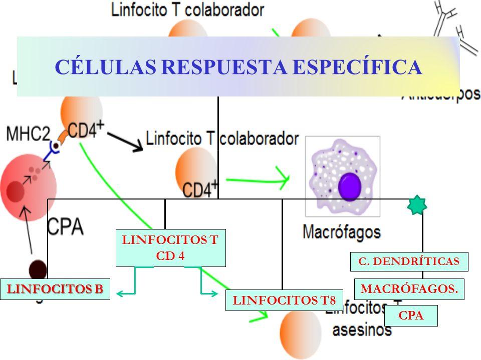 MACRÓFAGOS. LINFOCITOS B LINFOCITOS T CD 4 CÉLULAS RESPUESTA ESPECÍFICA LINFOCITOS T8 CPA C. DENDRÍTICAS