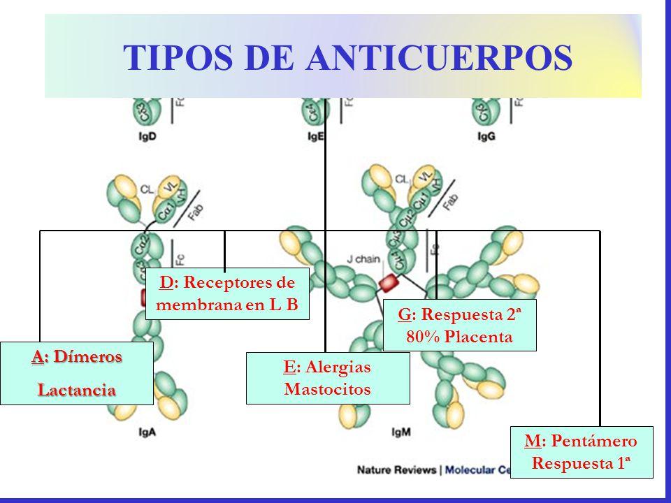 G: Respuesta 2ª 80% Placenta A: Dímeros Lactancia D: Receptores de membrana en L B TIPOS DE ANTICUERPOS E: Alergias Mastocitos M: Pentámero Respuesta