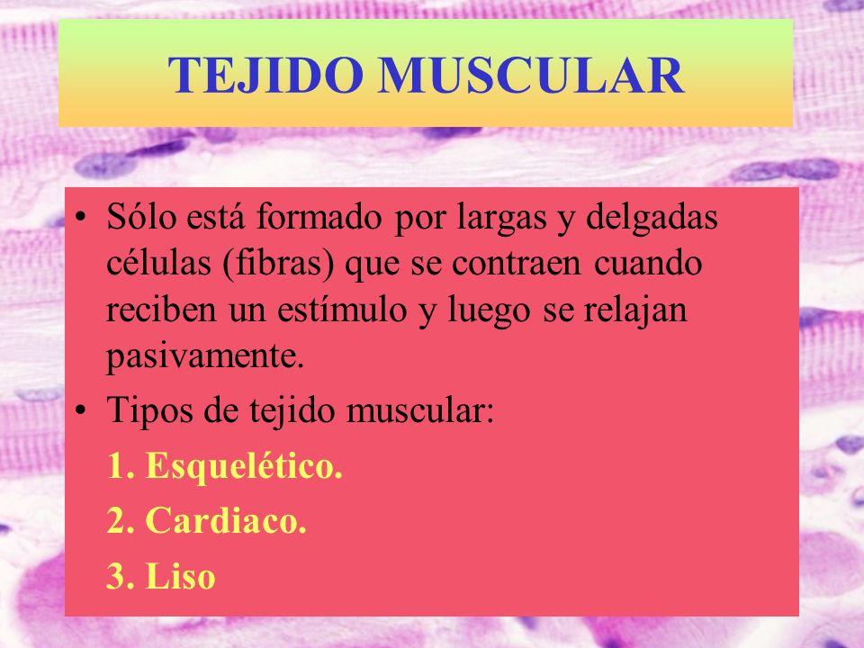 T.MUSC.