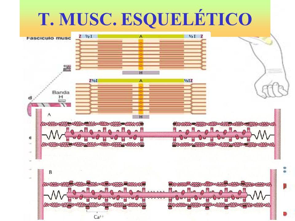 T.MUSC. CARDÍACO Miocardio. Células alargadas, estriadas, bifurcadas y con uno o dos núcleos.
