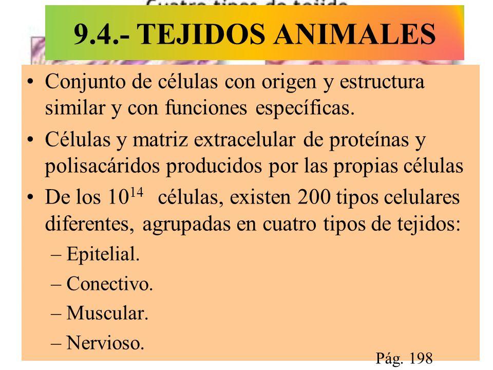 9.4.- TEJIDOS ANIMALES Conjunto de células con origen y estructura similar y con funciones específicas. Células y matriz extracelular de proteínas y p