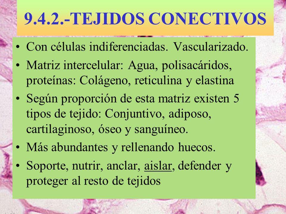 9.4.2.-TEJIDOS CONECTIVOS Con células indiferenciadas. Vascularizado. Matriz intercelular: Agua, polisacáridos, proteínas: Colágeno, reticulina y elas